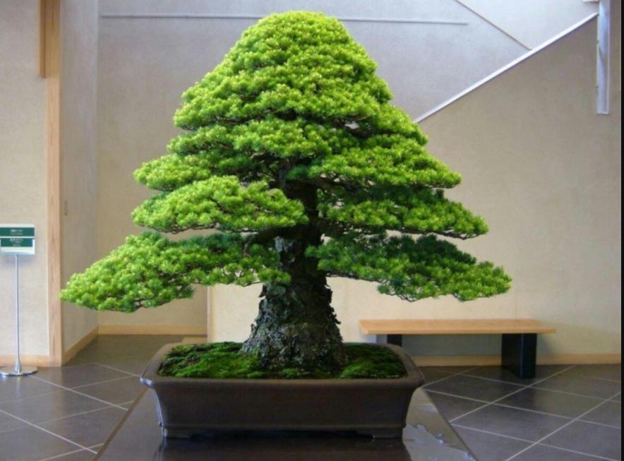 Tipos de Bonsai que você pode cultivar