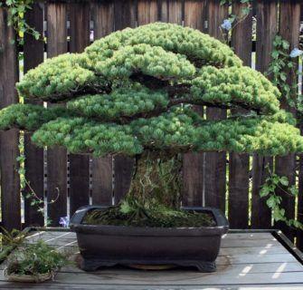 6 Estilos de bonsai para se inspirar 11