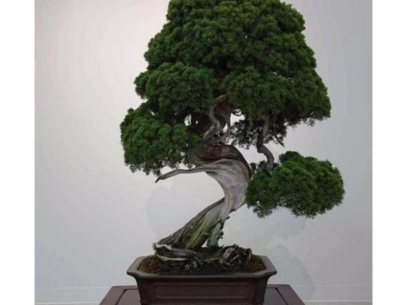 Como cuidar de uma árvore Bonsai 7