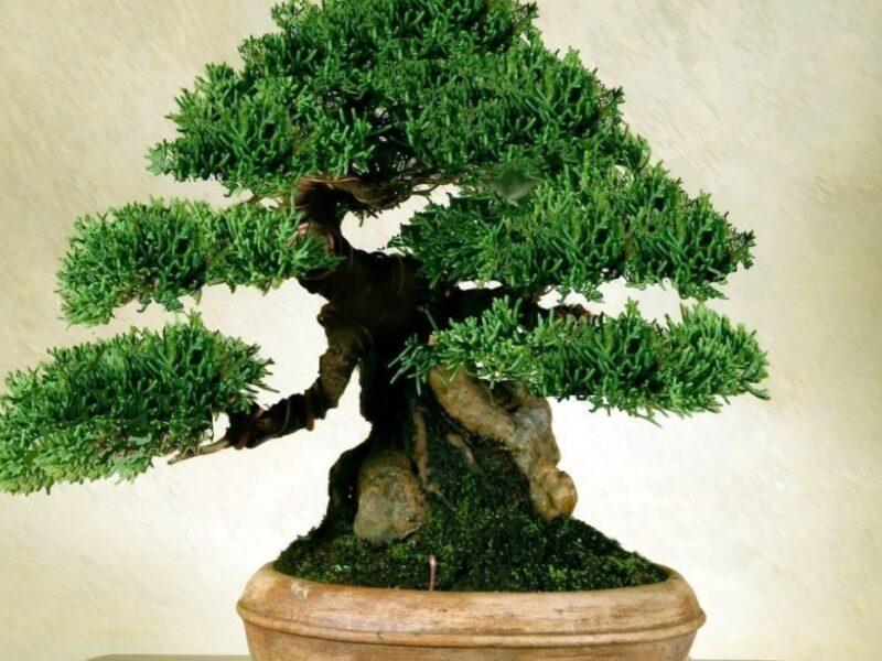 Materiais essenciais para o bom cuidado de um Bonsai 9