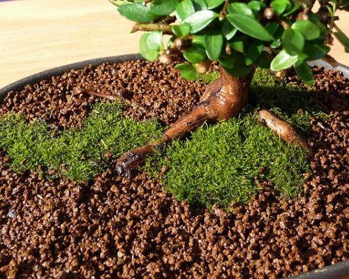 O solo de qualidade para o cultivo do Bonsai 1