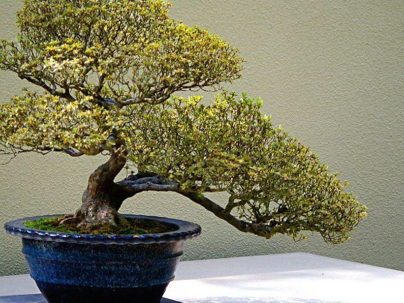 Quando foi criada a arte do cultivo do Bonsai 7