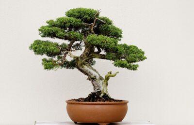 Saiba as coisas mais importantes no cultivo de um Bonsai 7
