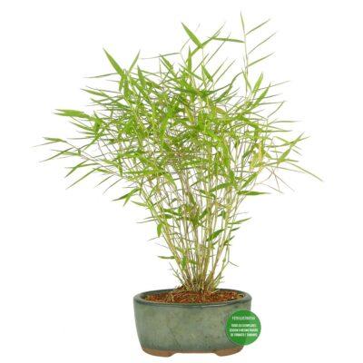 "Conheça o Bonsai de Bambu, o famoso Bonsai da ""sorte"" 5"