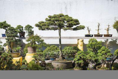 Cultivar e cuidar de um bonsai é fácil: aprenda tudo aqui 3