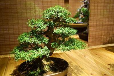 Cuidando adequadamente de uma árvore de bonsai 3