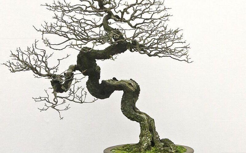 Como cuidar do seu bonsai durante dias frios ou inverno 1